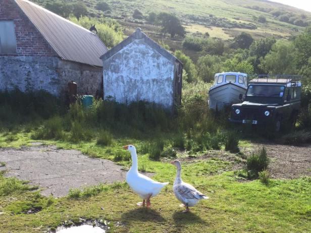 scottish-ducks